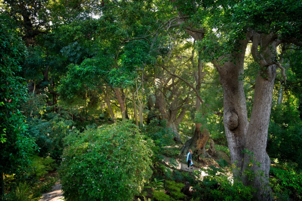 african-mag-places-we-love-Camphor trees in the garden at The CellarsHohenort-gal-img