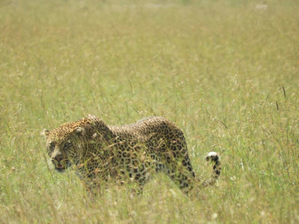 african-mag-magazin-Leopard-gal-img